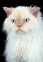 selkirk rex with blue eyes