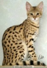 hybrid savannah cat