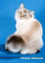 seal lynx american bobtail cat