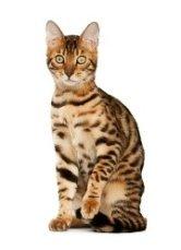 hybrid bengal cat