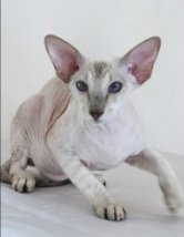 seal tabbypoint peterbald cat