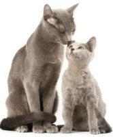 russian blue cat and kitten