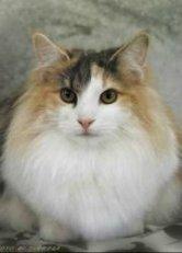longhaired norwegian forest cat