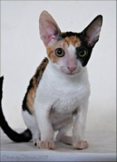 calico cornish rex kitten