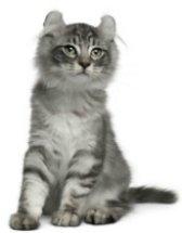 americal curl kitten