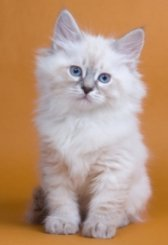 Siberian Cats For Sale