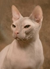 hairless donskoy cat