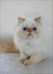 persian cat red point color point
