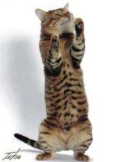toyger cat standing on back legs