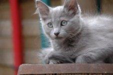 nebelung kitten