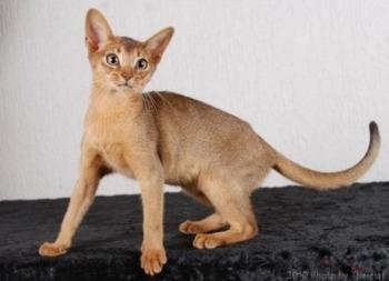 Sherada Angelicat | ruddy Abyssinian kitten | Owner Heila Brophy  | Breeder Gill Burman