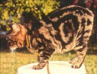 brown tabby Manx cat