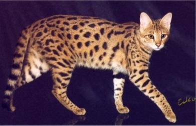 3rd Generation Savannah Cat