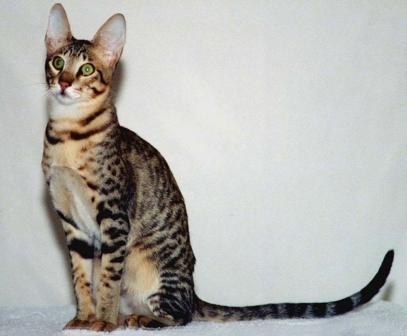 brown Serengeti cat