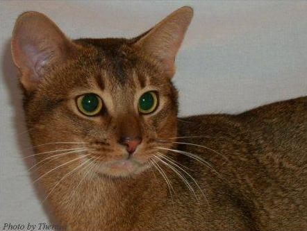 ruddy Abyssinian cat