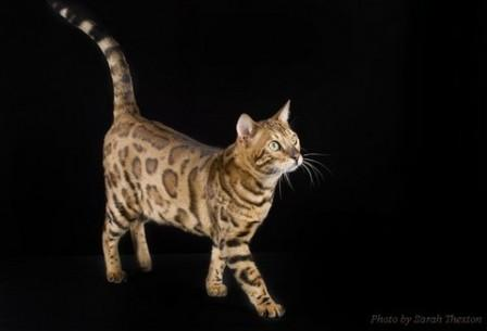 brown-spotted Bengal cat