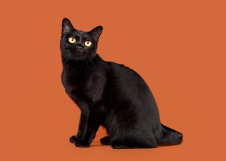 black Bombay cat