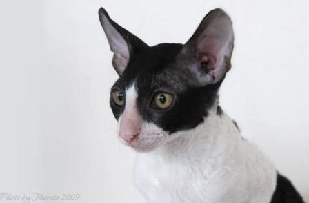 bi-color Cornish Rex cat