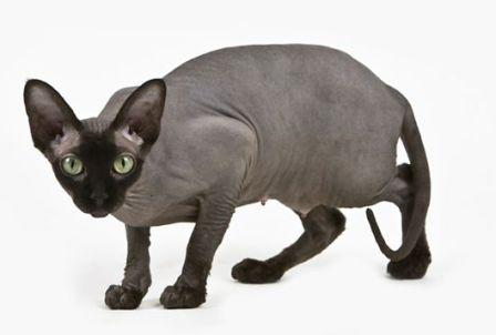 solid black Sphynx cat