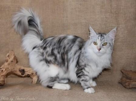 silver tortie tabby and white Maine Coon