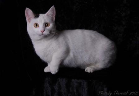 black harlequin Munchkin cat