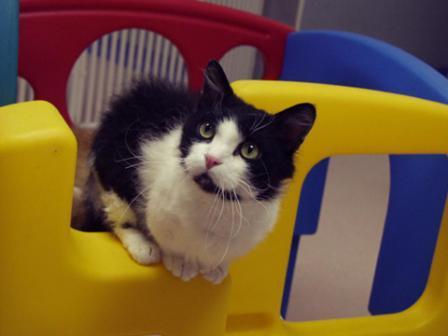 longhaired Skookum cat