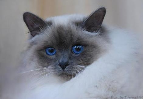© Theresa Fouche   Birman cat – Engeltje    owner Sandy Gunst