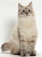 seal lynx american bobtail cat ©Tetsu