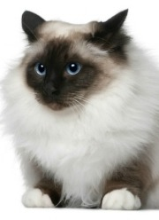 longhaired birman cat