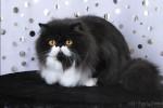 black bi-color persian cat