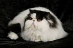 Black Harlequin Persian Cat