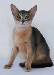 Cat Breeders. abyssinian cat