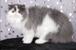 blue harlequin persian cat