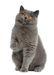 british shorthair - blue cat