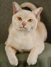 Burmese Breeders. burmese cat