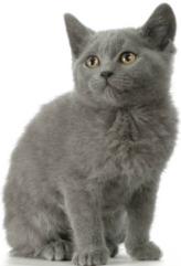 chartreux kitten