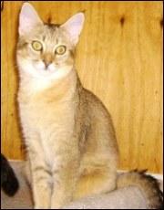 hybrid chausie cat