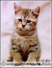 sturdy pixiebob kitten