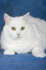 cymric cat breed