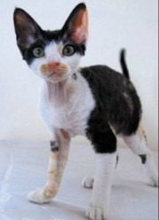 calico devon rex kitten