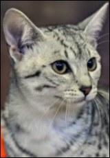 Egyptian Mau Cat Breeder List
