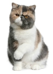 pancy-faced exotic shorthair cat
