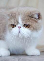 American shorthair kittens uk
