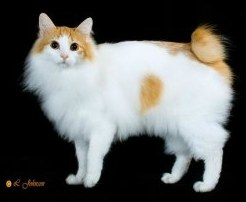 japanese longhaired cat