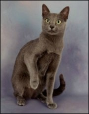 silver blue korat cat