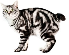 kurilian shortailed cat