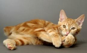 red kurilian kitten