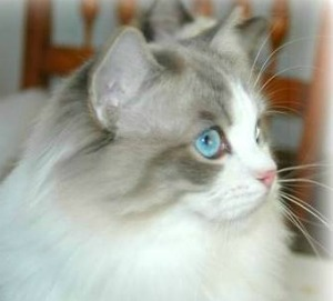 blue lynx bi-color ragdoll cat