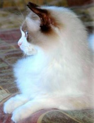 seal bi color ragdoll cat