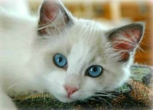 blue bi color ragdoll cat